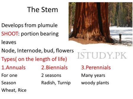 The Stem Develops from plumule SHOOT: portion bearing leaves Node, Internode, bud, flowers Types( on the length of life) 1.Annuals2.Biennials3.Perennials.