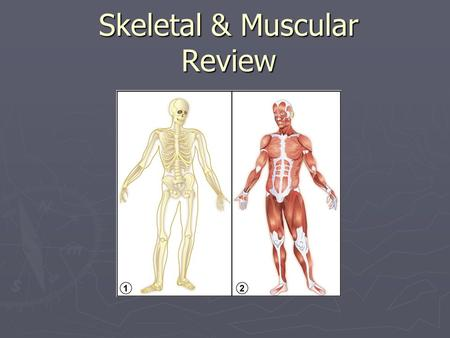 Skeletal & Muscular Review. QUESTIONS 12345 12345 6 6 78910 78910 6 78910 1112131415 1112131415 16.