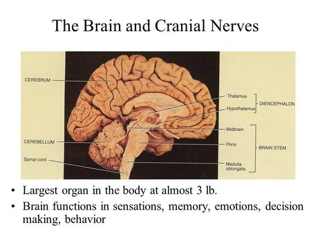 The Brain and Cranial Nerves Largest organ in the body at almost 3 lb. Brain functions in sensations, memory, emotions, decision making, behavior.