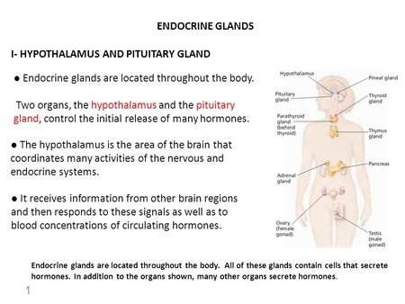 ENDOCRINE GLANDS I- HYPOTHALAMUS AND PITUITARY GLAND ● Endocrine glands are located throughout the body. Two organs, the hypothalamus and the pituitary.