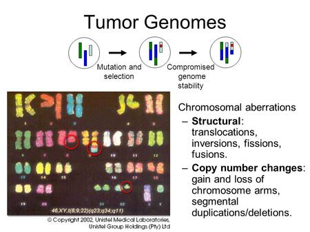 Tumor Genomes Compromised genome stability Mutation and selection Chromosomal aberrations –Structural: translocations, inversions, fissions, fusions. –Copy.