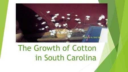 The Growth of Cotton in South Carolina. Growing Cotton  In the United States, there are 17 cotton growing states and South Carolina is one of them. 