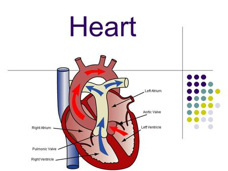 Heart. A large muscle which pumps blood throughout the body.