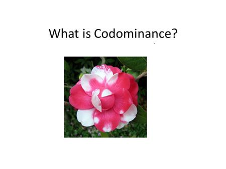 What is Codominance?. What is codominance? Codominance: condition in which both alleles of a gene are expressed in heterozygous offspring. Example: In.