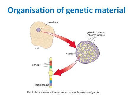 Organisation of genetic material Each chromosome in the nucleus contains thousands of genes.