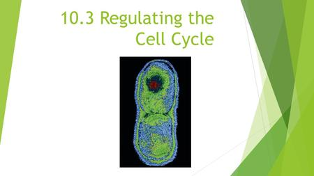 10.3 Regulating the Cell Cycle. 2 Which of the cells depicted in the line graph below are most likely cancerous?
