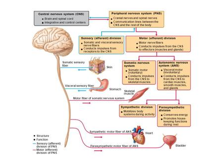 Central nervous system (CNS) Brain and spinal cord Integrative and control centers Peripheral nervous system (PNS) Cranial nerves and spinal nerves Communication.