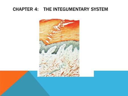 CHAPTER 4: THE INTEGUMENTARY SYSTEM. OBJECTIVES- 1.Describe the regions of the skin and the hypodermis 2.Name two (2) main epidermal layers and describe.