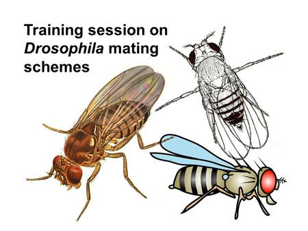 Training session on Drosophila mating schemes. STEP 1: Remind yourself of the key differences between mitosis and meiosis: crossing-over / interchromosomal.