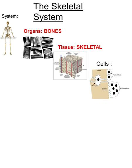 Cells : Tissue: SKELETAL Organs: BONES System: The Skeletal System.