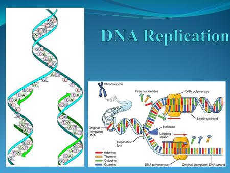 POINT > Explain how the structure of DNA makes replication possible POINT > Show how synthesis of new DNA strands is directional POINT > Describe the.