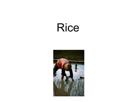 Rice. Production of Rice: Harvested and milled 1.Polish rice in huge machines which removes the outer layer 2.Remove husk=brown rice (still has germ,