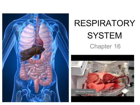 RESPIRATORY SYSTEM Chapter 16. PRIMARY FUNCTIONS ● Exchange gases (oxygen and CO2) ● Produce vocal sounds ● Sense of smell ● Regulation of blood PH.