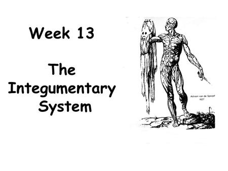 Week 13 The Integumentary System. The integumentary system consists of: The Skin Its Derivatives –Hair –Nails –Glands.