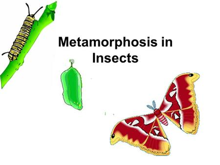 Metamorphosis in Insects. Insect life cycle Development from egg to adult and again to egg represents one life cycle or Generation Voltinisme = number.