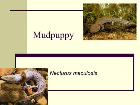 Mudpuppy Necturus maculosis. Evolution of amphibians Evolved approximately 400 mya Swamp dwellers Retain fish like characteristics Large range in size,