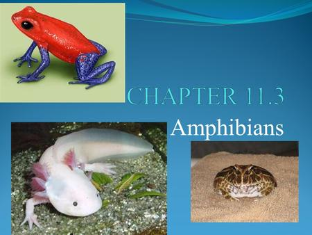 Amphibians. POINT > Identify characteristics of amphibians POINT > Describe the life cycle of a frog POINT > Explain how amphibians get O 2, circulate.