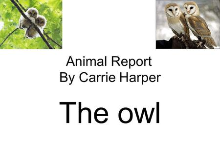 Animal Report By Carrie Harper The owl. Introduction We sleep in beds, but the Elf Owl sleeps in a cactus! That maybe why they call it a Elf Owl, small.