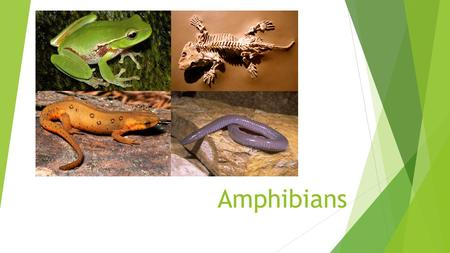 Amphibians. Characteristics of Amphibians  Amphibians are eukaryotic, heterotrophic vertebrates  They have thin, smooth, moist skin. Some of them have.