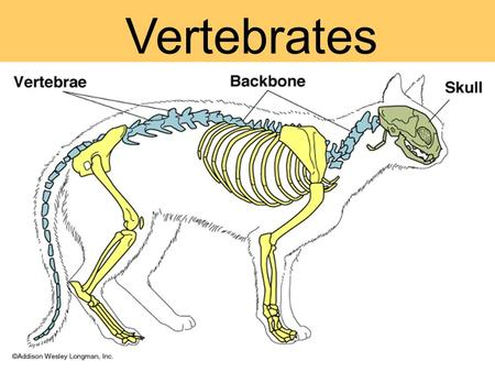 Vertebrates. What is a vertebrate? Vertebrates have... A skull A backbone of vertebrae an endoskeleton of cartilage or bone.