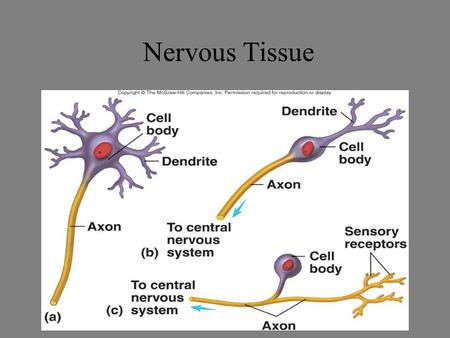 Nervous Tissue. The Nervous System Components –Brain, spinal cord, nerves, sensory receptors Responsible for –Sensory perceptions, mental activities,