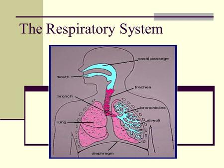 The Respiratory System. What is the Respiratory System? Your respiratory system is made up of the organs in your body that help you to breathe. Remember.
