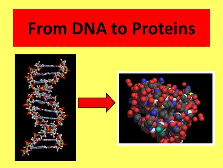 From DNA to Proteins. DNA contains __________________ and the instructions for making ________. Why is DNA important? genetic information proteins.