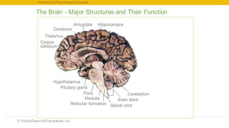 © The McGraw-Hill Companies, Inc. Introductory Psychology Concepts The Brain - Major Structures and Their Function Thalamus Corpus callosum Hypothalamus.