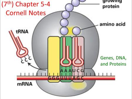 (7 th ) Chapter 5-4 Cornell Notes Genes, DNA, and Proteins.