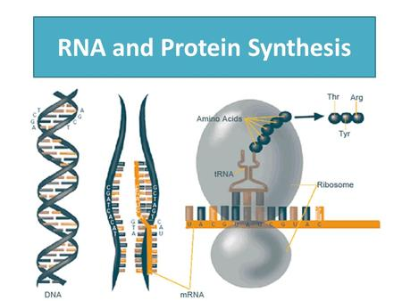 RNA and Protein Synthesis. How does DNA determine our traits?