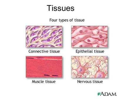 Tissues. Epithelial Tissue - Covers all body surfaces both inside and out. - Main glandular (glands) tissue. - Attached to underlying connective tissue.