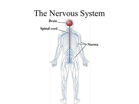 The Nervous System. Divisions of the Nervous System.