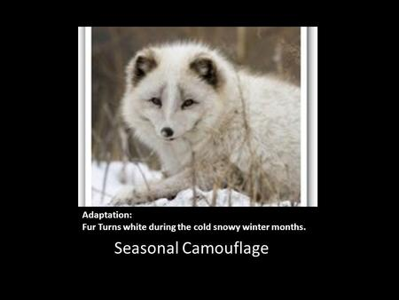 Adaptation: Fur Turns white during the cold snowy winter months. Seasonal Camouflage.