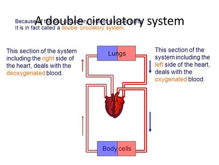 This section of the system including the right side of the heart, deals with the deoxygenated blood. This section of the system including the left side.