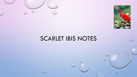 "SCARLET IBIS NOTES. POINT OF VIEW- 1ST PERSON LIMITED NARRATOR'S NAME ISN'T GIVEN, JUST ""BROTHER"", REINFORCES THAT THE STORY FOCUSES ON THE RELATIONSHIP."