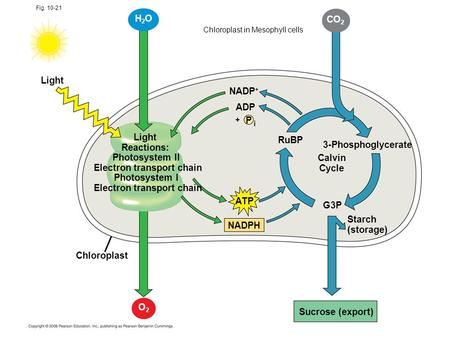Fig. 10-21 Light Reactions: Photosystem II Electron transport chain Photosystem I Electron transport chain CO 2 NADP + ADP P i + RuBP 3-Phosphoglycerate.