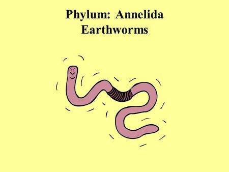 Phylum: Annelida Earthworms. Section 27-3 Anus Clitellum Circular muscle Longitudinal muscle Nephridia Ganglia Ring vessels Reproductive organs Ventral.