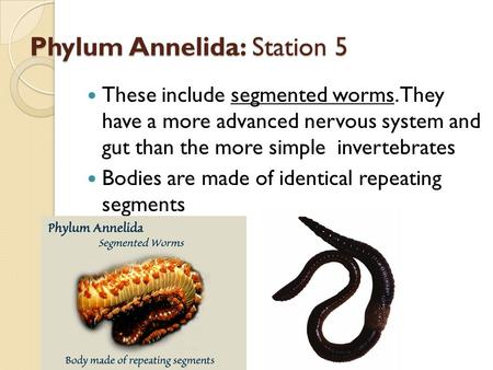 Phylum Annelida: Station 5 These include segmented worms. They have a more advanced nervous system and gut than the more simple invertebrates Bodies are.