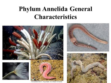 Phylum Annelida General Characteristics