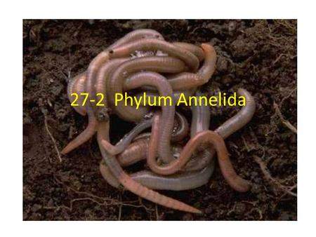 27-2 Phylum Annelida. I.What is an Annelid? A. Phylum: Annelida from Latin annellus = little rings B. Description: Round, wormlike animal that has a long,