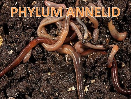 "Annelid Kingdom: Animalia Phylum: Annelida Annelid means ""little rings"""