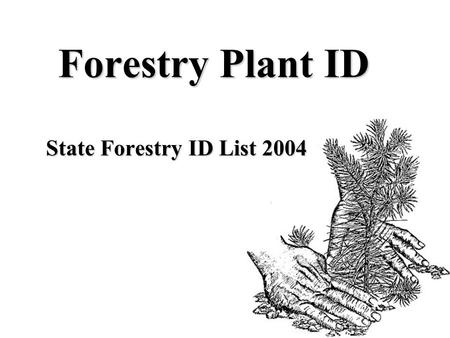 Forestry Plant ID State Forestry ID List 2004. BIGLEAF MAPLE acer macrophyllum.