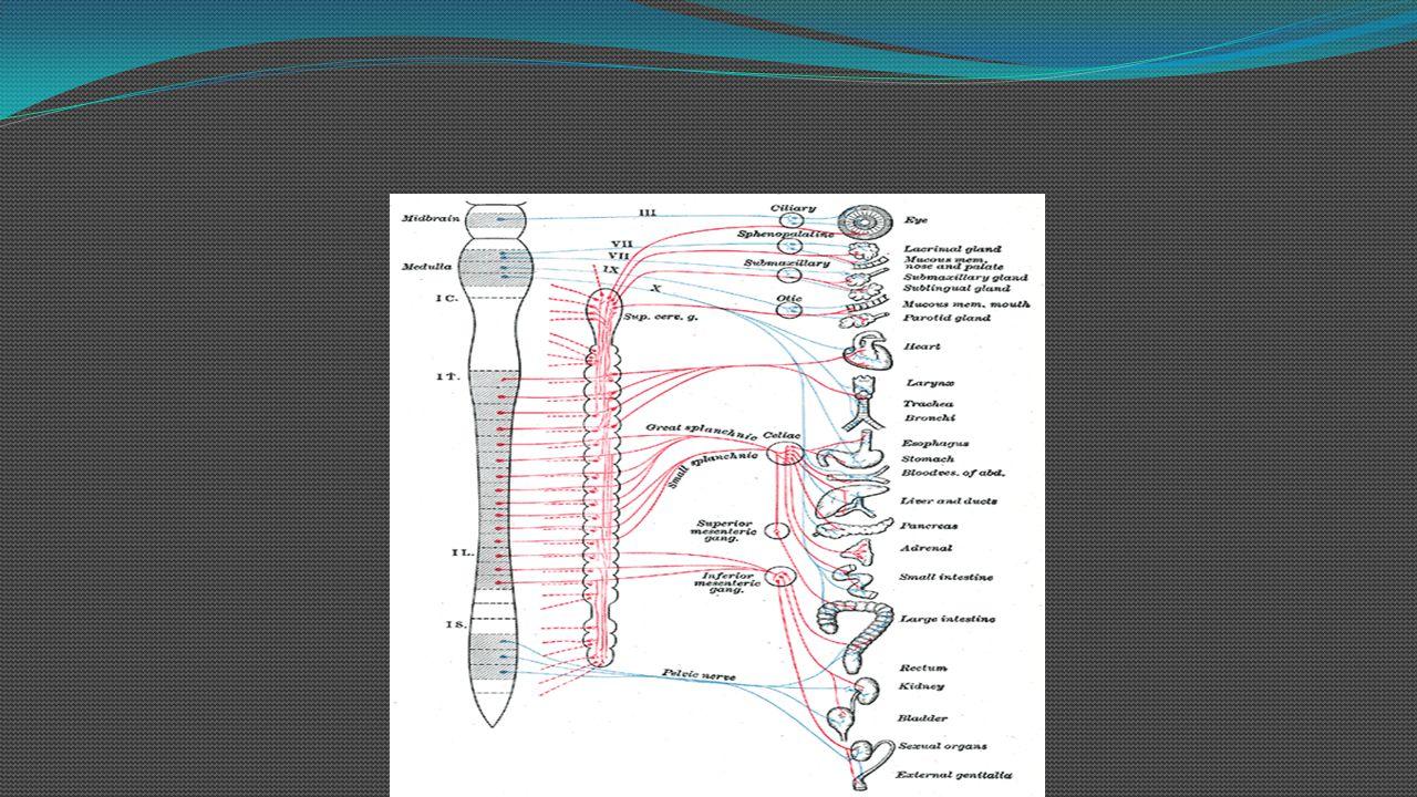 Functions of autonomic nervous system