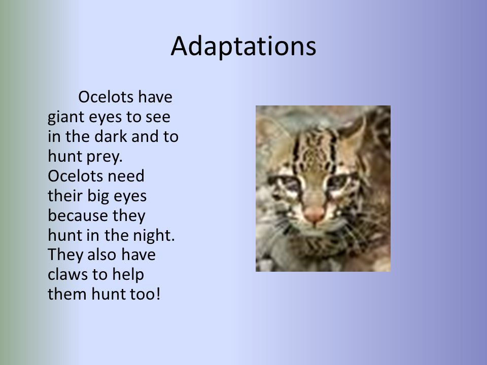 Interesting Facts Something interesting is that if ocelots lose their homes they can't have babies.