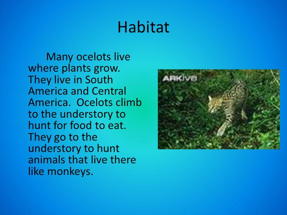 Diet Ocelots eat many animals but no plants.