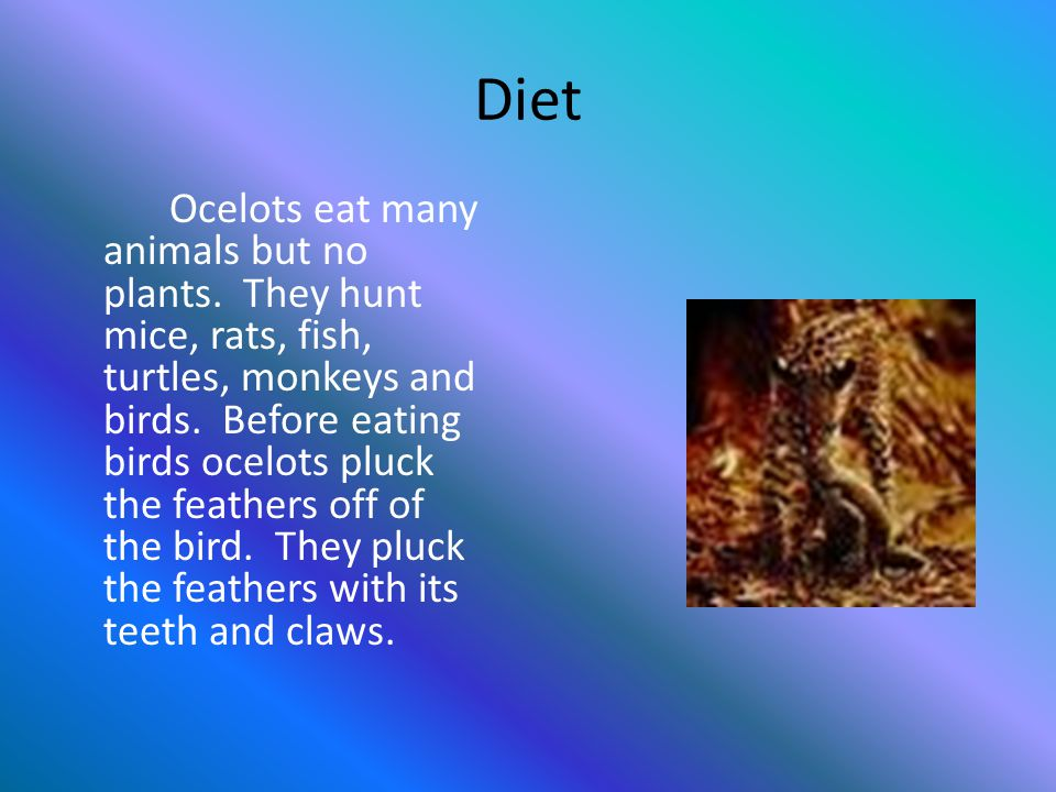 Predators and Preys Ocelots are endangered for their fur.