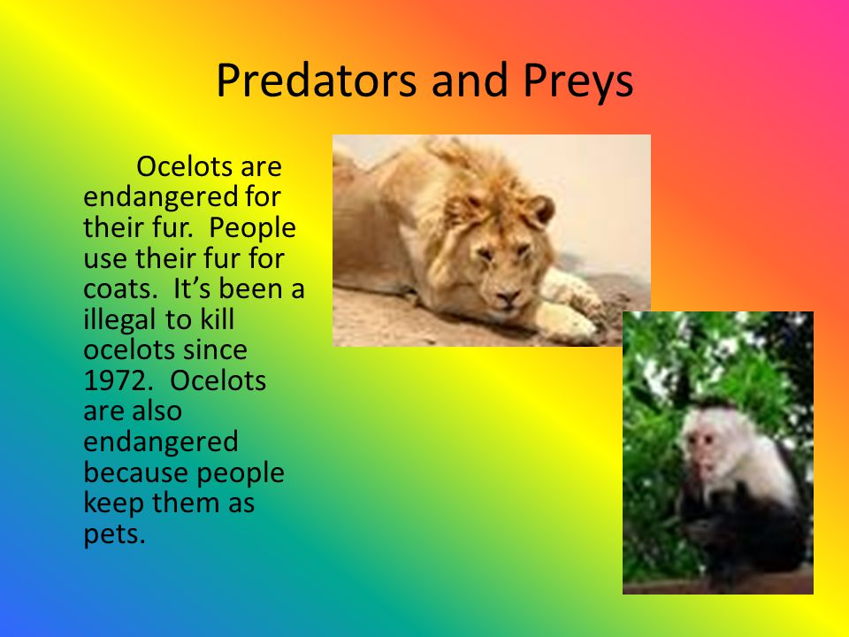 Adaptations Ocelots have giant eyes to see in the dark and to hunt prey.