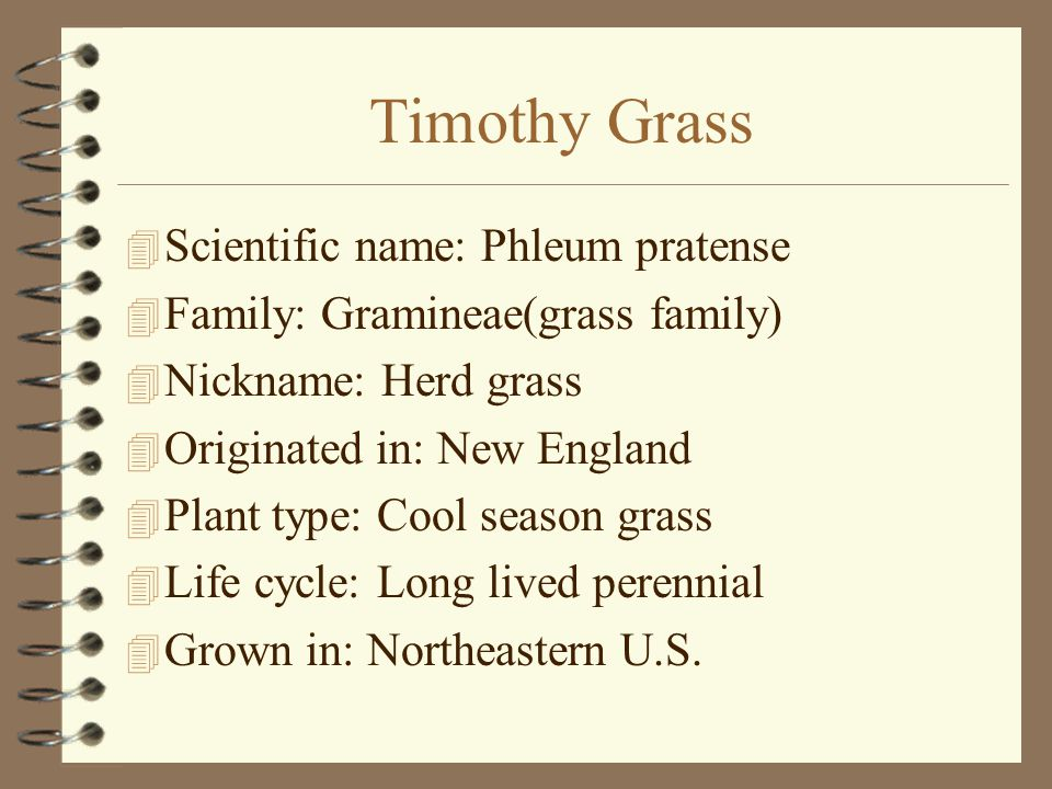 Timothy Grass  Scientific name: Phleum pratense  Family: Gramineae(grass family)  Nickname: Herd grass  Originated in: New England  Plant type: Cool season grass  Life cycle: Long lived perennial  Grown in: Northeastern U.S.