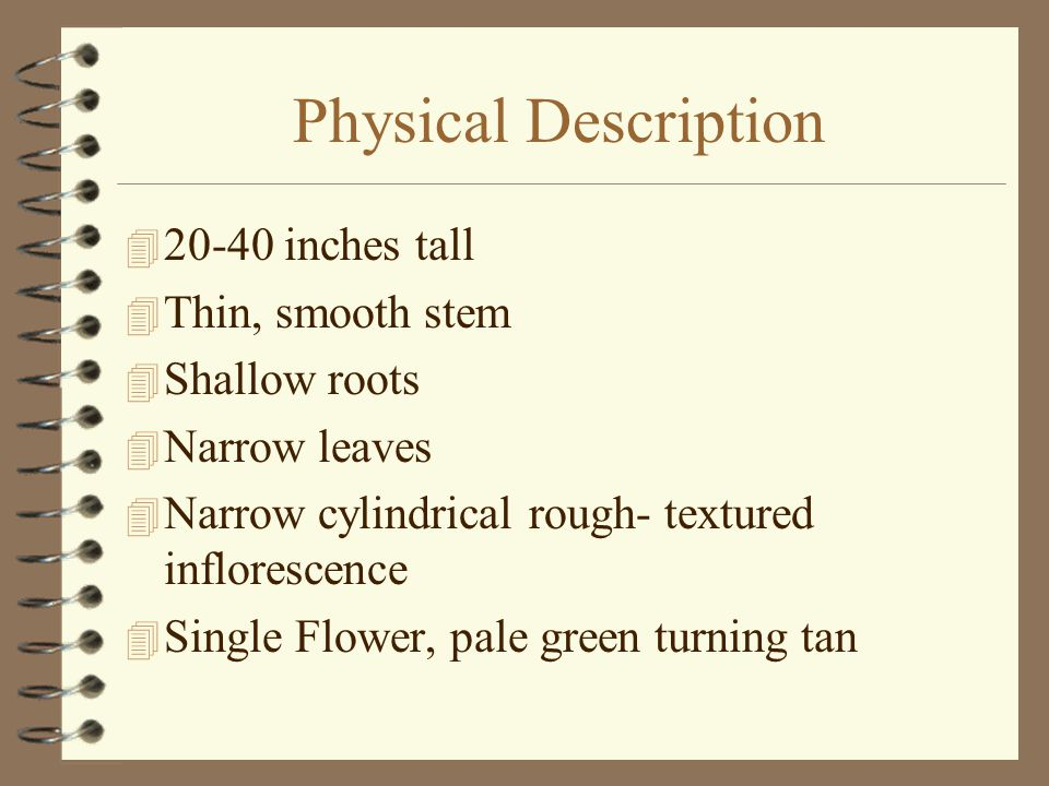 Physical Description  20-40 inches tall  Thin, smooth stem  Shallow roots  Narrow leaves  Narrow cylindrical rough- textured inflorescence  Single Flower, pale green turning tan