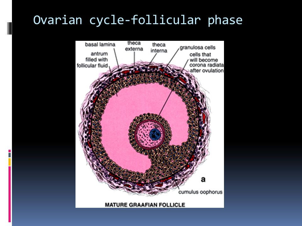 Ovarian cycle-ovulation phase